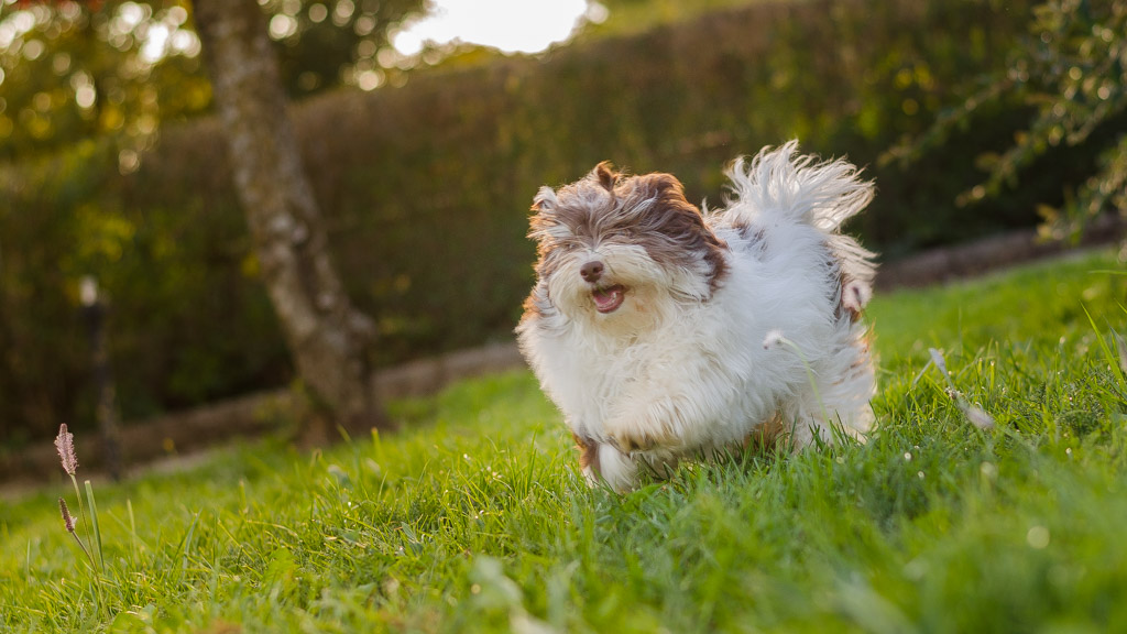 bichon-havanais-023-chien-bichon-havanais-1024