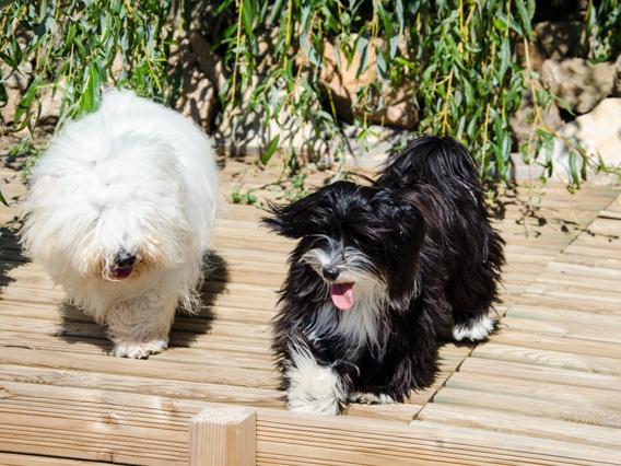 Jeux dans le jardin : les havanaises contre Doudou le Coton