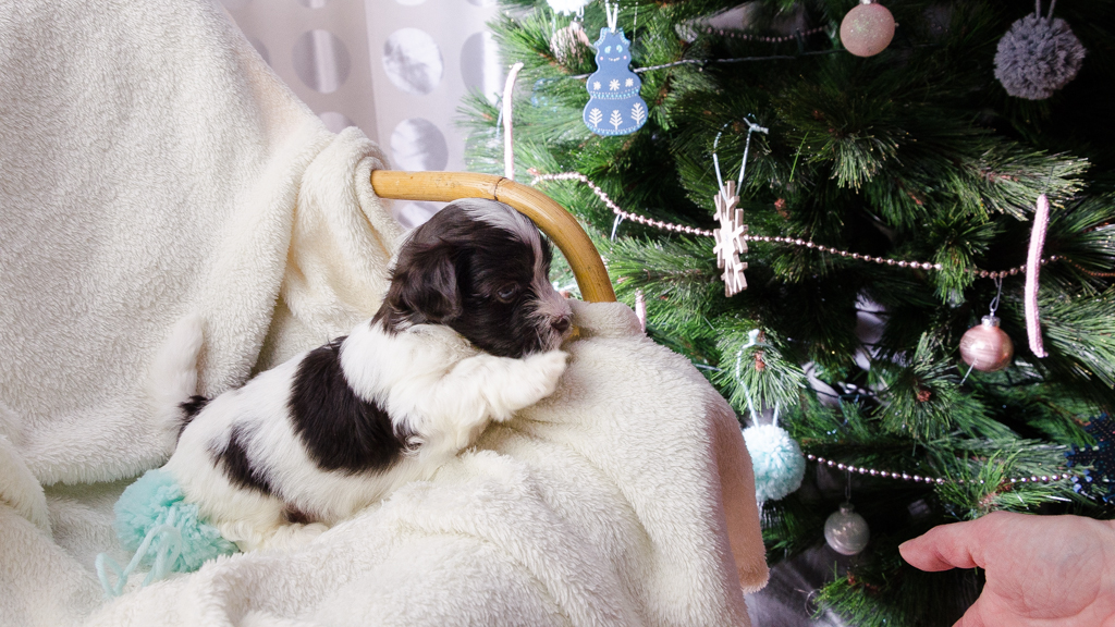 Les Chiots Bichons Havanais vous souhaite un Joyeux Noël