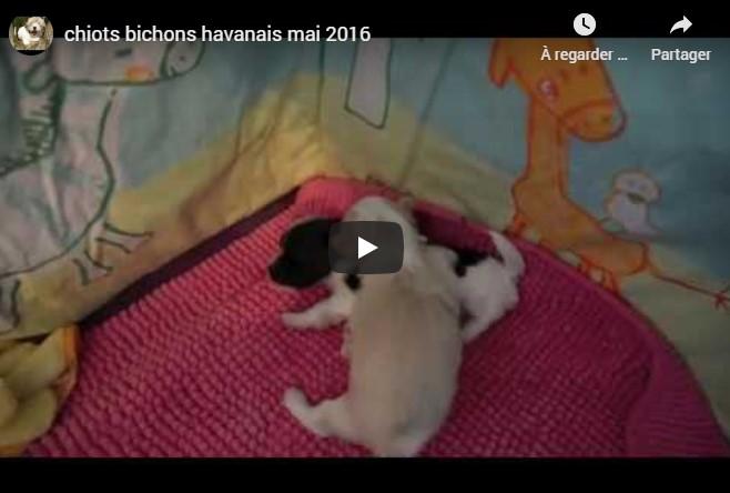 Vidéo des petits havanais