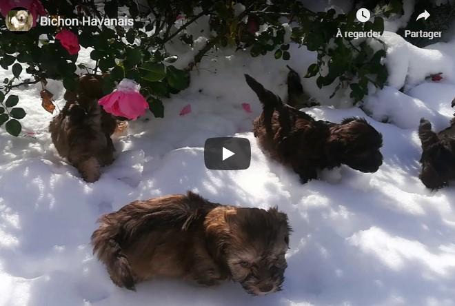 Les chiots Havanais dans la neige