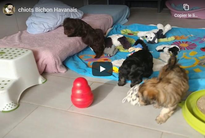Video Chiots Havanais
