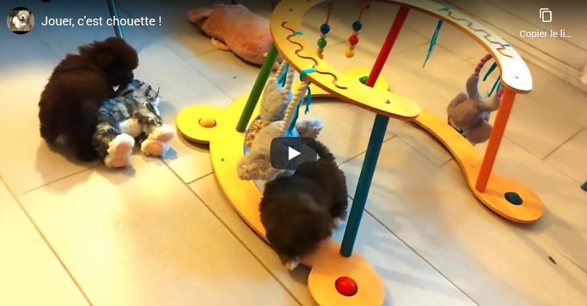 Bébés havanais entrain de jouer