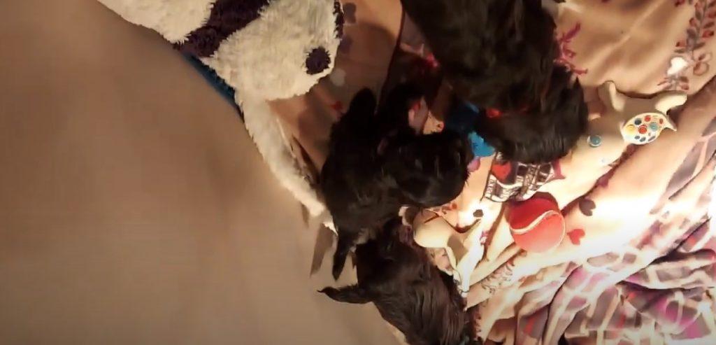 Vidéo des bébés havanais au réveil